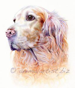 golden retriever watercolour portrait