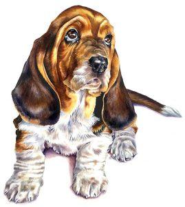 cute basset puppy portrait